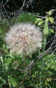 giant dandelion globe