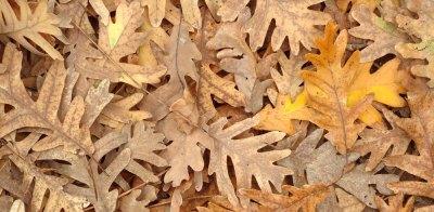 fallen oak leaves