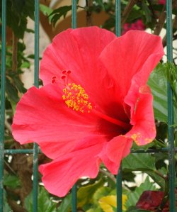 single red hibiscus flower