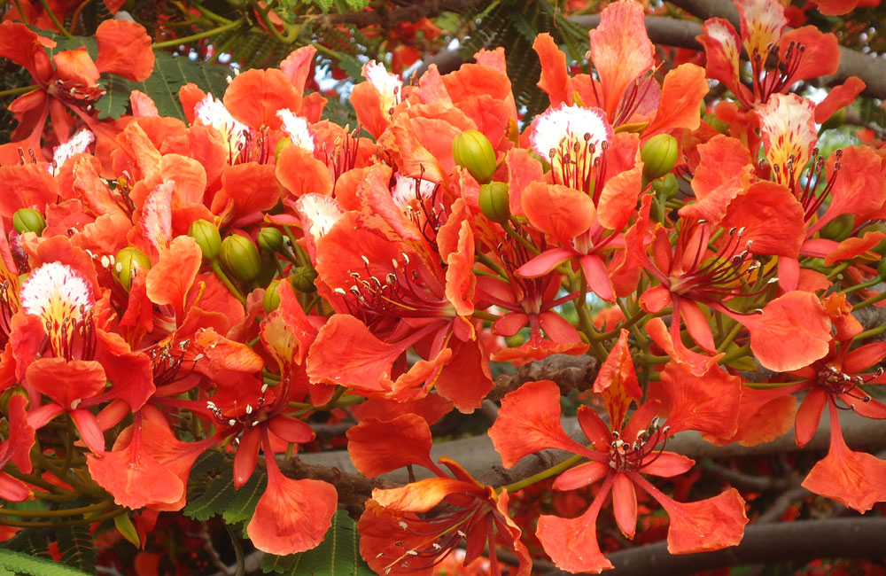 Flowers of Royal Poinciana