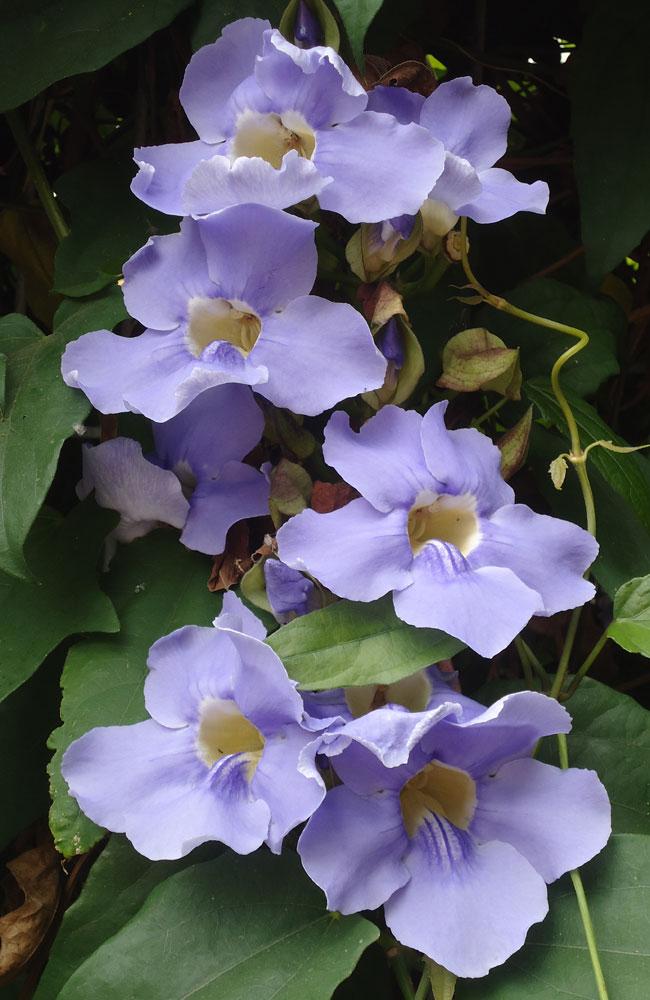 Thunbergia flowers