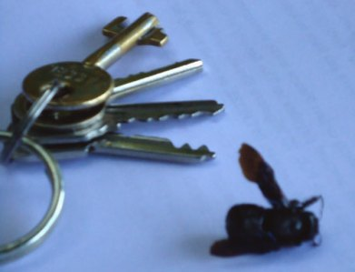 dead bee and bunch of keys