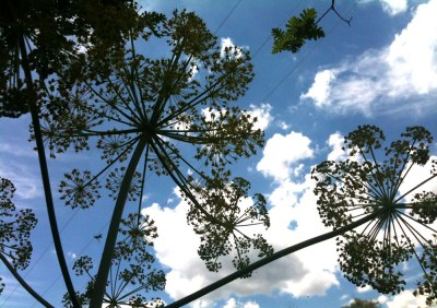 giant fennel plants silhouetted against blue sky and clouds