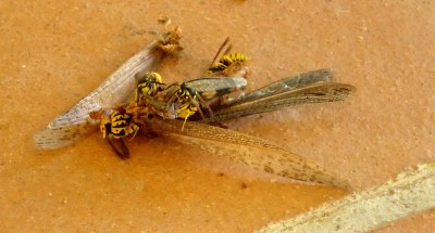wasps scavenging at a cricket corpse