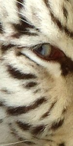 white tiger blue eye (close up)