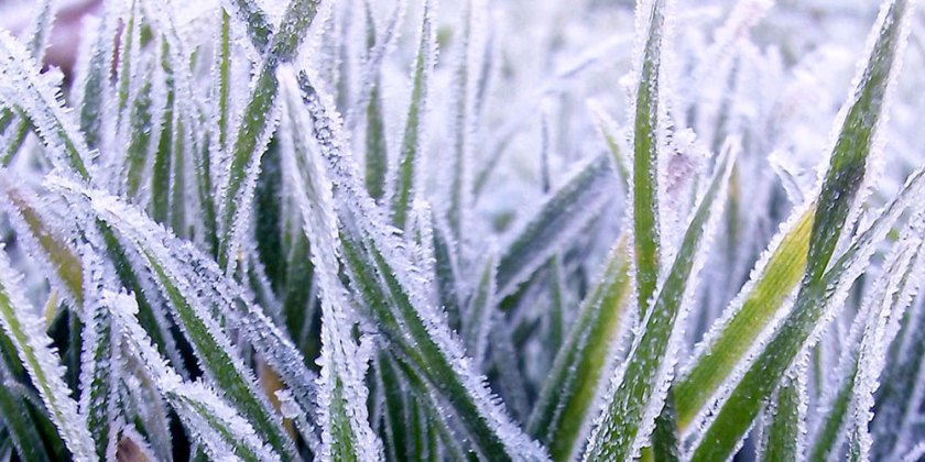 frosted grass close up