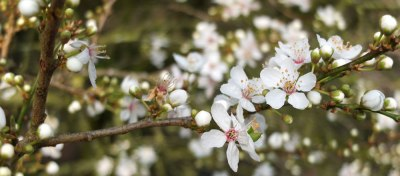 white blossom, early spring, UK