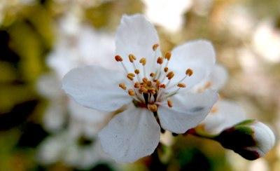 white spring blossom