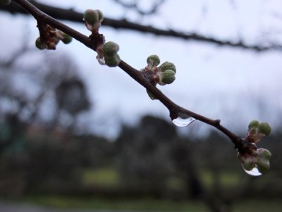 closeup of early buds on plum tree with raindrops