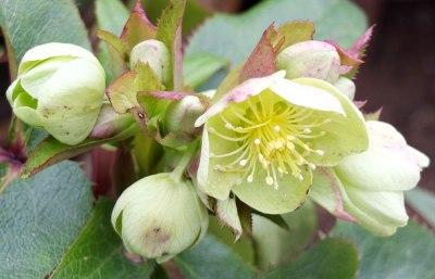 Hellebore Niger Christmas Rose
