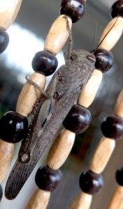 locust on bead curtain