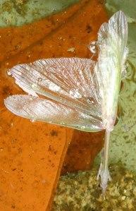 drowned mantis