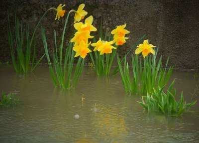 Daffodils in a flooded flower bed