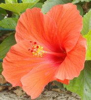 orange hibiscus flower close up