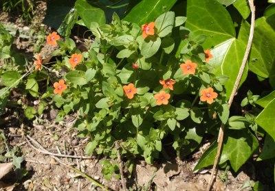 scarlet pimpernel plant