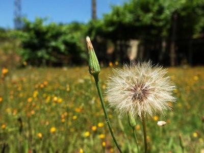 dandelion-type seed head