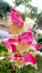 pink and cream gladiolus spike