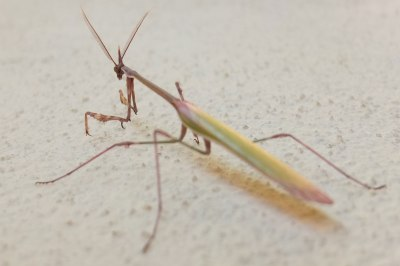 mantis. probably Empusa pennata