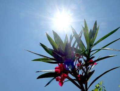 red oleander, blue sky, bright sun