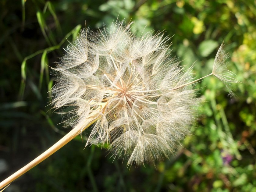 giant dandelion clock