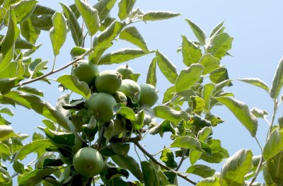 granny smith apples on the tree