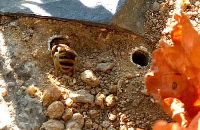 burrowing bee entering her tunnel