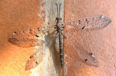 dragonfly wide open wings