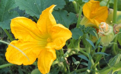 yellow gourd flowers