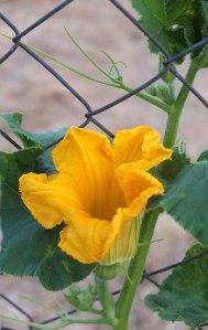 yellow gourd flower