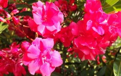 red oleander flowers