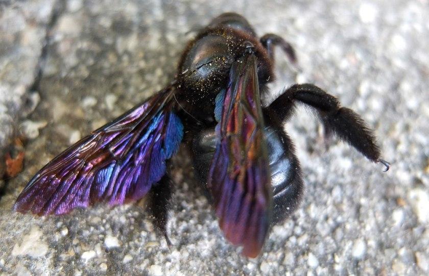 dead carpenter bee
