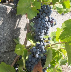ripe black grapes