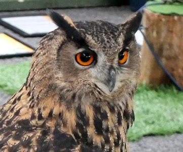 eagle owl head shot