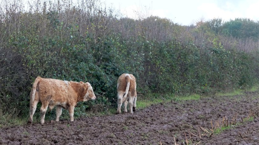 young cows in muddy field