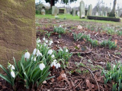 snowdrops and old  tombstone