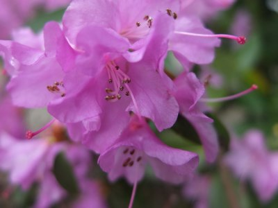 purple azalea flower