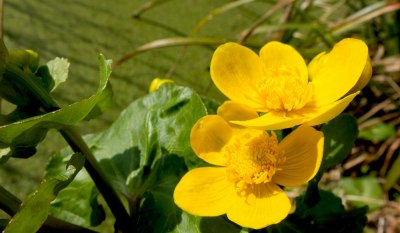 water buttercup close up