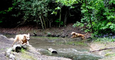 dogs playing in small pond