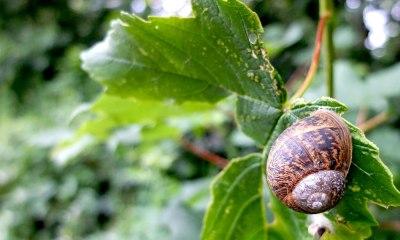 brown snail on leaf