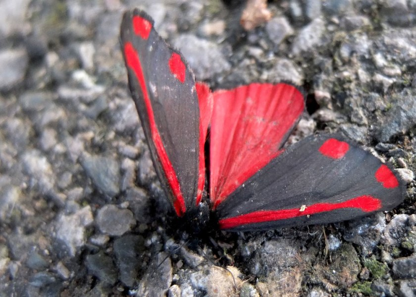 Dead cinnabar moth