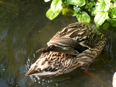 Duck: female mallard dabbling in river. Head not visible