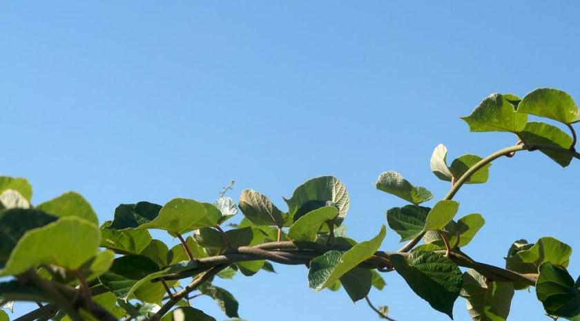 Kiwi leaves against blue sky