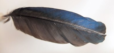 magpie feather