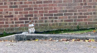 grey squirrel sitting on kerbside as if waiting to cross road