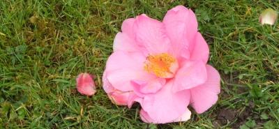 fallen camelia blossom