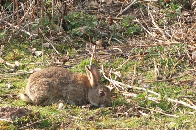 brown rabbit grazing