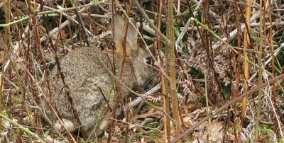 Wild brown rabbit