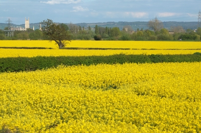 Yellow field: rapeseed in flower