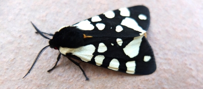 Tiger moth (insect)