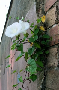 convolvulus growing on a vertical wall